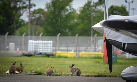 It's official - Irish hare lands on feet at airport